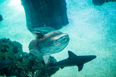 Moon fish and shark swimming in large sea water aquarium. Shark swimming in large sea water aquarium stock photo
