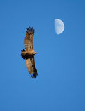 Moon flight. A vulture flying on the sky with the moon at the back royalty free stock image