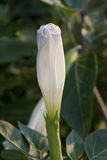Moon Flower or Ipomoea alba Stock Photo