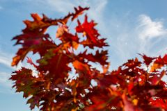 Moon framed by blurred oriental plane tree red autumn leaves Stock Photography