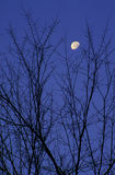 Moon Framed by Tree Branches. Early morning moon as viewed through the branches of a tree royalty free stock photo
