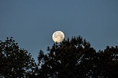 Moon setting in the morning. Moon getting ready to set behind some pine trees in the morning Royalty Free Stock Image