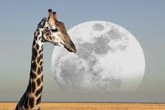 Moon - Giraffe - Etosha National Park - Namibia. Moon rising over a Giraffe (Giraffa camelopardalis) in Etosha National Park in Namibia Royalty Free Stock Images