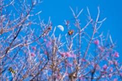 Moon. Half Moon above cherry blossom royalty free stock photos