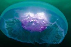 Moon il mare delle meduse (aurelia aurita) in rosso. Fotografia Stock Libera da Diritti