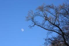 Moon im reinen blauen Himmel, der zum Treetop kontrastiert Lizenzfreie Stockfotos