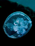 Moon jelly fish Royalty Free Stock Images