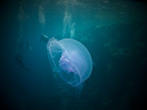 Moon jelly fish Royalty Free Stock Image