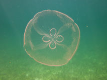 Moon Jelly Stock Photo