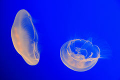 Moon Jellyfish Stock Images