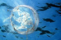 Moon Jellyfish. Aurelia auretis picture taken in south east florida Royalty Free Stock Photo