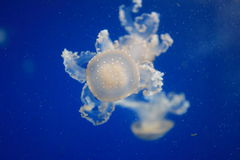 Moon jellyfish Stock Photo