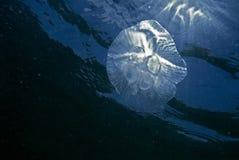 Moon jellyfish (aurelia aurita) Royalty Free Stock Photo