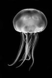 Moon jellyfish & x28;Aurelia aurita& x29; black and white stock photos