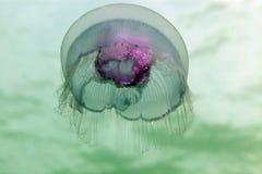 Moon jellyfish (aurelia aurita) in the Red Sea. stock photography