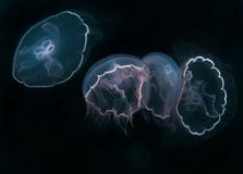 Moon Jellyfish in Open Water Stock Photo