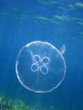 Moon jellyfish under water surface Royalty Free Stock Photo
