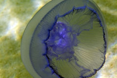 Moon medusa (aurita do aurelia) no Mar Vermelho. Imagem de Stock