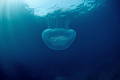 Moon medusa sob a água no mar de japão Imagem de Stock Royalty Free