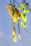 Moon Moth mating Royalty Free Stock Photo