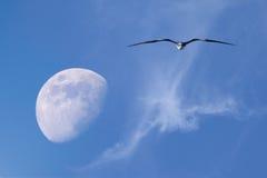 Moon- och flygfrigatebirden Royaltyfri Foto