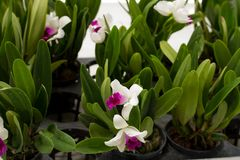 Moon orchid in a flower shop. At garden Stock Photos