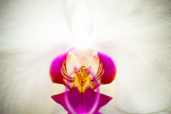 Moon Orchid Royalty Free Stock Photo