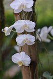 Moon orchid Stock Images