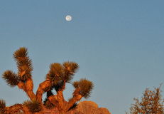 Moon Over Cactus Royalty Free Stock Photography