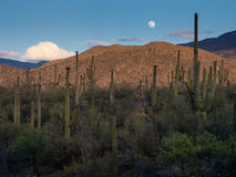 Moon over cactus forest Stock Photo
