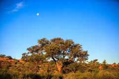 Moon over the desert bush. The full moon rising over the desert dunes royalty free stock image