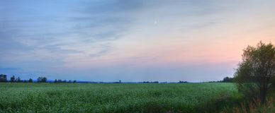 Moon over field of buckwheat in bloom royalty free stock photo