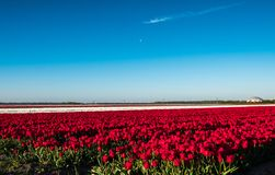 Moon over red and white tulips in field Royalty Free Stock Photos