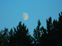 Moon over the forest. Moon over the pine forest Royalty Free Stock Photos