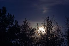 The moon over the pine forest. Moonlit night in the forest Royalty Free Stock Image