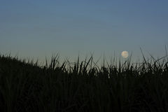 Moon over sugarcane. The full moon over sugarcane at sunrise Royalty Free Stock Image