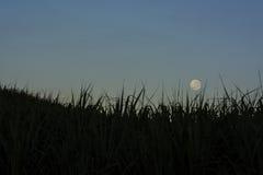 Moon over sugarcane. The full moon over sugarcane at sunrise royalty free stock image