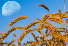 Moon over a wheat ears Royalty Free Stock Images