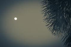 Moon Palm Stock Photography