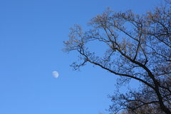 Moon in pure blue sky contrasting with treetop Royalty Free Stock Photos