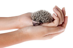 Moon rat II. African pygmy hedgehog in hands Royalty Free Stock Photos