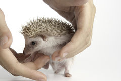 Moon rat or pygmy hedgehog. African pygmy hedgehog on white background royalty free stock images