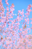 Moon Rise beterween Wild Himalayan cherry blossoms is  blooming Royalty Free Stock Photo