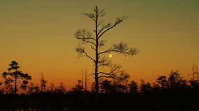 Tree on sunset and moon rise Stock Image