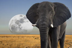 Moon rising over African Wildlife - Elephant. African Elephant (Loxodonta africana) - Moon rising over wildlife southern Africa royalty free stock images