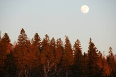 Moon rising from the woods Royalty Free Stock Images