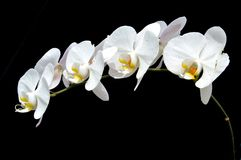 Moon's orchid (Phalaenopsis amabilis). On black background Royalty Free Stock Photo