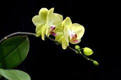 Moon's orchid (Phalaenopsis amabilis). On black background Stock Photos