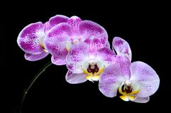 Moon's orchid (Phalaenopsis amabilis) Royalty Free Stock Photos