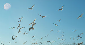 Moon and seagulls. Seagulls flying and moon in daytime Stock Photo